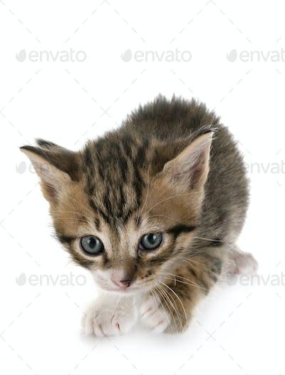 moggy kitten in studio