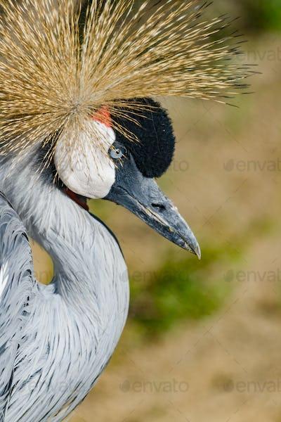 Beautiful grey crowned Common crane (Grus Grus)