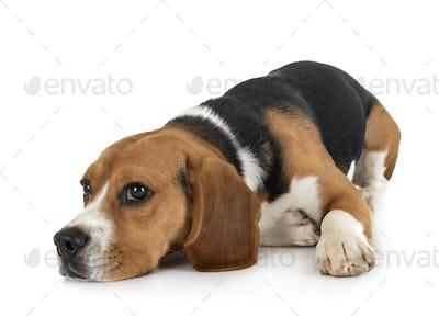 beagle in studio
