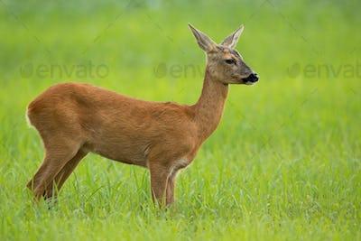 Roe deer doe in summer standing on a meadow with green grass looking away