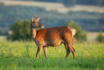 Red deer hind looking behind in tranquil atmosphere in springtime at sunset