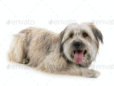 Pyrenean Shepherd in studio