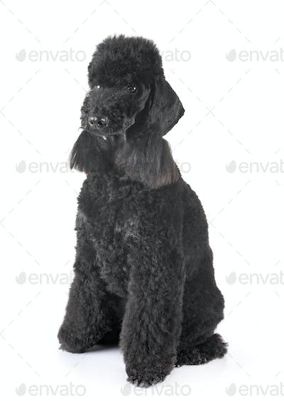 bedlington poodle in studio