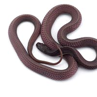 The Cape file snake isolated on white background