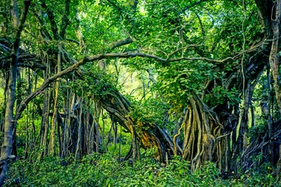 Scenic view of jungle with Indian banyan