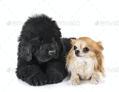 puppy newfoundland dog and chihuahua