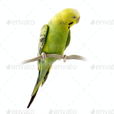 Yellow and green budgie