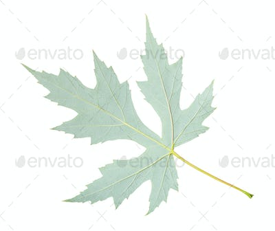 back side of natural leaf of Silver Maple isolated
