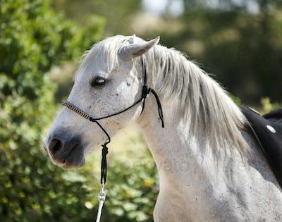 white horse and halter