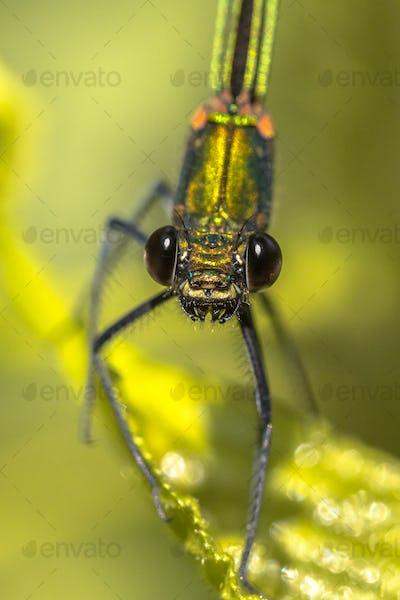 Copper demoiselle female dragonfly frontal portrait