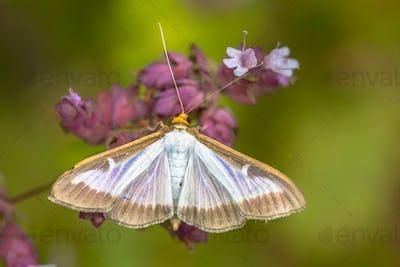 Box tree Moth pest species