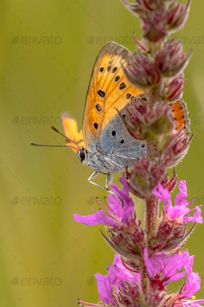 Large copper on purple loosestrife