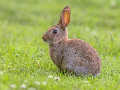 Wild rabbit green background