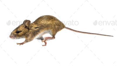 Running mouse isolated on white background
