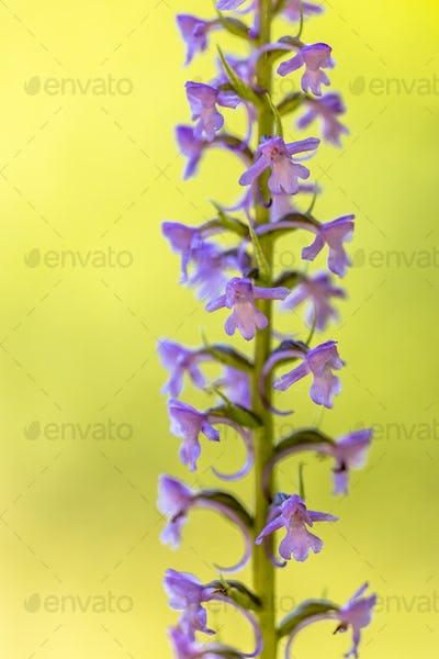 Marsh Fragrant Orchid close up