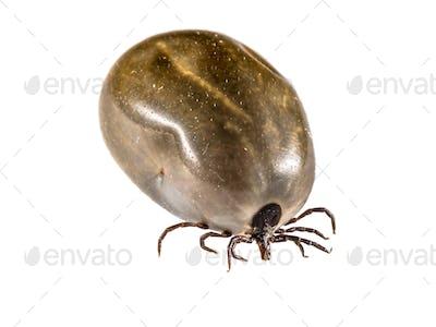 Castor Bean Tick