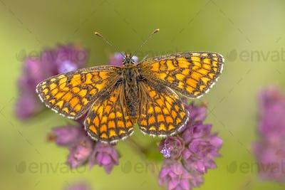 Meadow fritillary butterfly