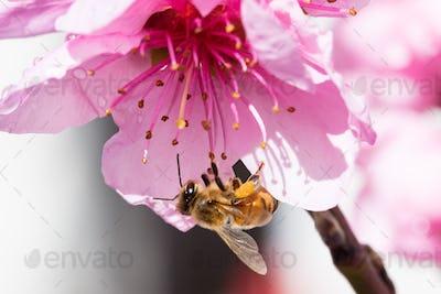 Australian Bee and Flower