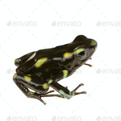 Poison Dart Frog - Dendrobates auratus
