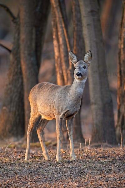 Roe deer, capreolus capreolus, doe standing in forest between trees at sunset