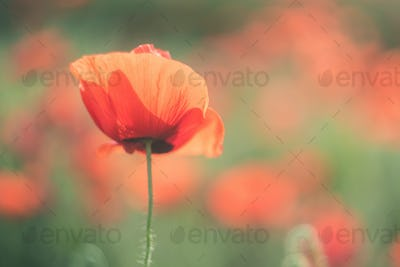 Spring field with wild poppies baeutiful blurred background