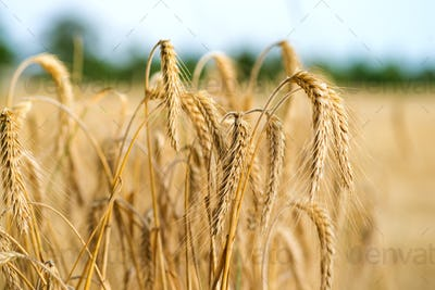 Spikelets of wheat in the sunlight. Wheat field