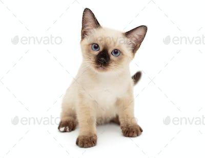 Small Siamese kitten