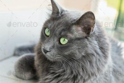 female Nebelung cat