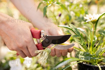 Hands of female gardener cutting dry flower in pot with pruning shears