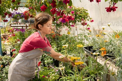 Contemporary young gardener taking care of potted flowers in greenhouse