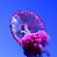 Jellyfish or Rhizostoma pulmo floating in aquarium