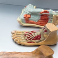 Anatomy of human foot structure, education concept