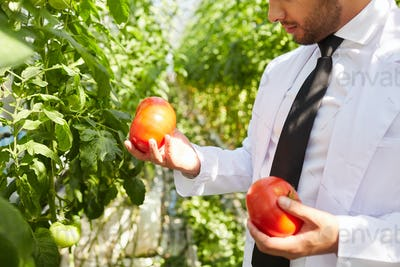 Horticulture agronomist analyzing size of tomatoes