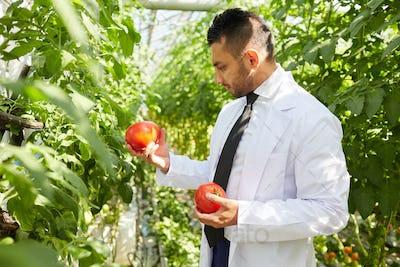 Arabian scientist examining tomatoes