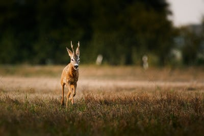 Roe deer buck on a field