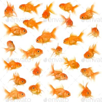 Group of goldfishes
