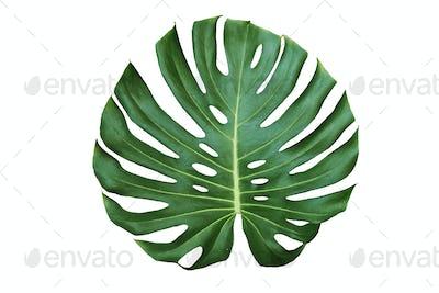 Jungle monstera leaf isolated on white background