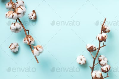 Cotton flower branch on blue background with copy space. Top view. Flat lay. Flowers composition