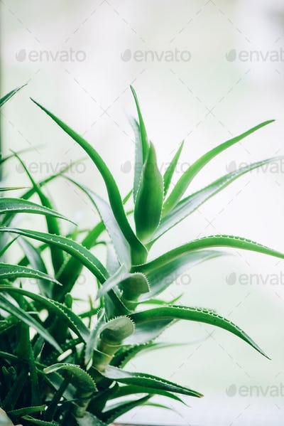 Green aloe vera plants. Tropical aloe. Nature farm garden for cosmetics ingredient. Herbal medicine