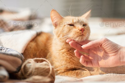 Young Woman Stroking Ginger Cat