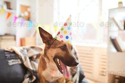 Dog Wearing Birthday Cap