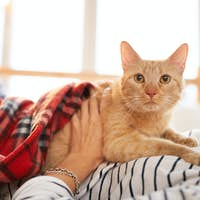 Ginger Cat Relaxing with Owner
