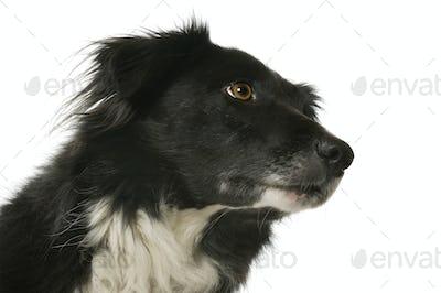 Border Collie (5 years, 6 months)