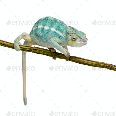 Young Chameleon Furcifer Pardalis - Nosy Be(7 months)