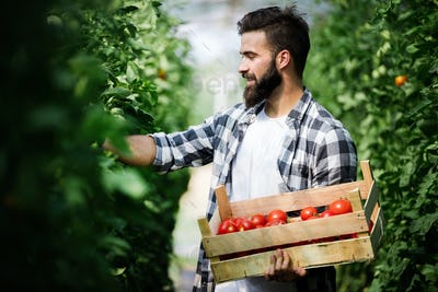 Young man harvesting tomatoes in greenhouse