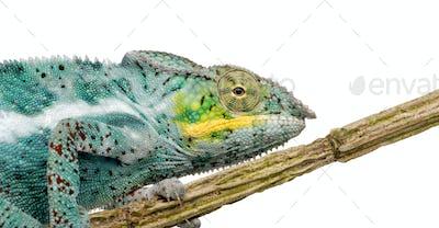 Chameleon Furcifer Pardalis - Nosy Faly (18 months)