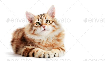 Siberian cat, a kitten lying and looking up. Isolated