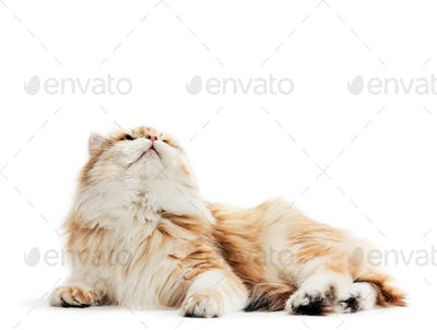 Siberian cat isolated, looking up. Purebred