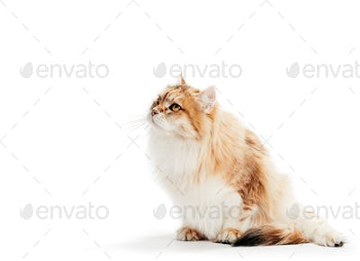 Siberian cat looking on white background.