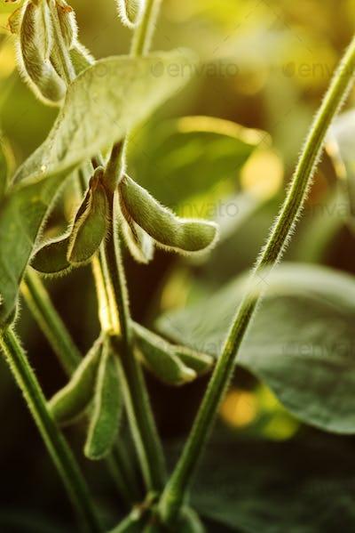 Unripe organic soybean pods